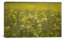 Rapeseed field, Canvas Print