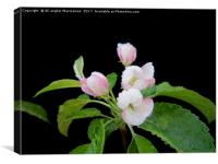 Apple's blossoms,, Canvas Print