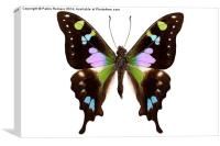 """Butterfly species Graphium weiskei """"Purple Spotted, Canvas Print"""