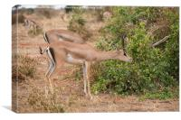 Grant's Gazelle feeding, Canvas Print