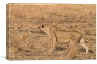 Lioness stalking, Canvas Print