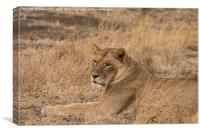 Lioness waiting, Canvas Print