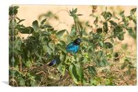 Greater Blue-Eared Starling, Canvas Print