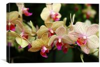 Orchids, Canvas Print