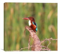 White Breasted Kingfisher of Sri Lanka, Canvas Print
