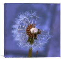 Dandelion Seed Head II, Canvas Print
