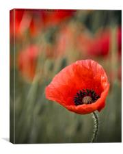 Close up of single poppy., Canvas Print