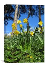 Welsh Daffodils at their best , Canvas Print