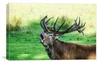 Bolving Red Stag, Canvas Print