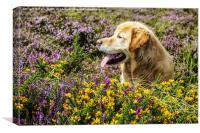 Golden Retriever in the August heather, Canvas Print