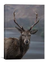 Stag, Canvas Print