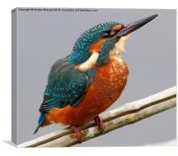 A Kingfisher chilling out perched over Spynie Loc, Canvas Print