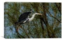 Grey Heron landing., Canvas Print