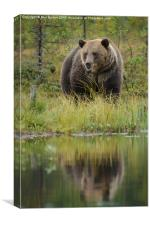 Brown bear in Finland, Canvas Print