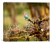 Pretty Lilac Breasted Roller, Canvas Print