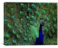 Peacock, Canvas Print