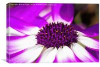 Purple Senetti, Canvas Print