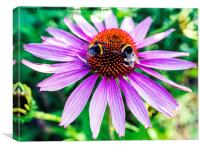 Bees on Echinacea, Canvas Print