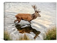 Red Deer Stag , Canvas Print