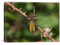 Broad-bodied Chaser Dragonfly, Canvas Print