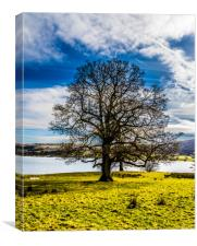 Portrait of a Lake district tree, Canvas Print