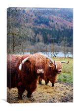 Hairy Coos, Canvas Print