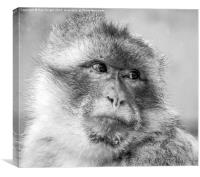 The macaque Monkey, Canvas Print