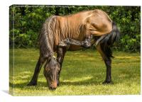 New Forest Pony grazing, Canvas Print