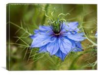 Love in a mist, Canvas Print