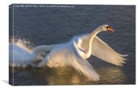 Swans in a flap, Canvas Print