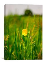 The Buttercup, Canvas Print