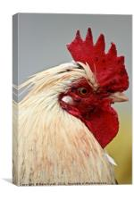 Focussed Rooster, Canvas Print