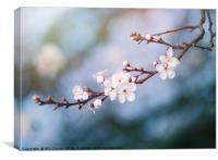 First Blossom In February, Canvas Print