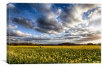 Stunning rapeseed fields at sunset, Canvas Print