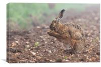 Wild brown hare having a morning wash 0126, Canvas Print