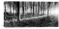 Bluebell woods sunrise in spring black and white, Canvas Print