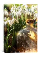 Snowdrop flowers and old glass jar with sunlight, Canvas Print