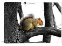 Grey Squirrerl, Canvas Print