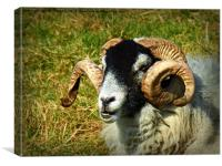 Curly horned sheep, Canvas Print