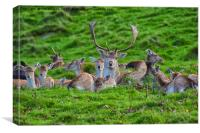 Stag fallow deer, Canvas Print