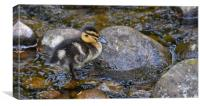 Duckling on the water, Canvas Print