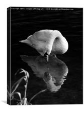 Mute swan on the lake, Canvas Print