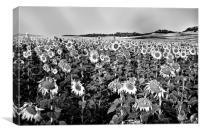 Field of sunflowers in grey, Canvas Print