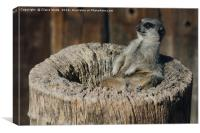 Relaxed Meerkat in the Sun, Canvas Print