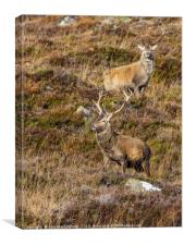Red Deer Stags, Canvas Print