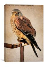 Kestrel Paint Over II, Canvas Print