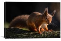 Red Squirrel at Derwent Reservoir , Canvas Print