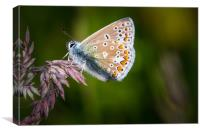 common blue butterfly                 , Canvas Print