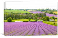 Lavender Loveliness in Kent, Canvas Print