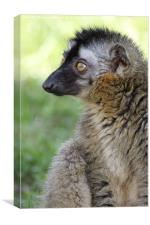 Red Fronted Lemur., Canvas Print